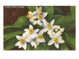 Florida Orange Blossoms Poster