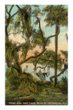 Picnic Oak, St. Petersburg, Florida Posters