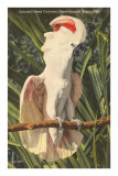 Salmon-Crested Cockatoo, Florida Posters