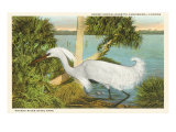Snowy Egret, Myakka River State Park, Florida Print
