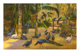 Peacocks, St. Petersburg, Florida Posters