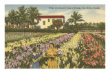 Gladioli Field, Ft. Myers, Florida Posters
