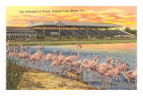 Flamingos at Hialeah, Florida Posters