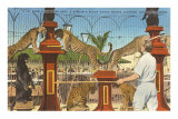 Circus Leopards, Panther, Lion, Sarasota, Florida Print