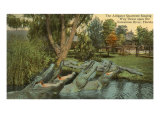 Alligator Quartet, Suwannee River, Florida Print
