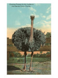 Ostrich, Florida Posters