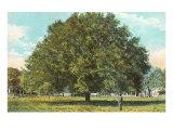 Water Oak, Jacksonville, Florida Print