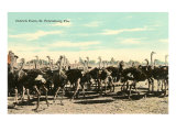 Ostrich Farm, St. Petersburg, Florida Print