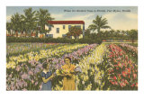 Gladioli Field, Ft. Myers, Florida Poster