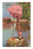 Flamingo Nesting in Florida Posters