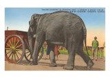Circus Elephant, Sarasota, Florida Print