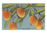 Mangoes, Ft. Myers, Florida Posters