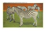 Zebras, Sarasota, Florida Posters