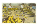 Packing Grapefruit, Florida Posters