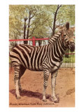Zebra, Lincoln Park Zoo, Chicago, Illinois Giclee Print