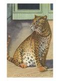 Leopard, Sarasota, Florida Posters
