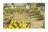 Packing Grapefruit, Florida Photo