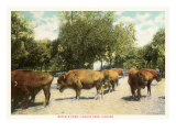 Buffalo Herd, Lincoln Park, Chicago, Illinois Posters