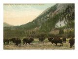 Buffalo, Banff, Alberta Posters