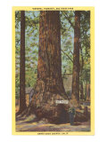 General Fremont, Big Tree, Santa Cruz, California Poster