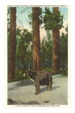 Bear, San Bernardino Mountains, California Prints
