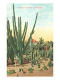 Euphorbia, Cactus, in California Poster