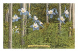 Colorado Columbines and Aspens Posters