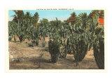 Cactus, Euphorbia, Riverside, California Posters