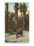 Ours, Montagnes de San Bernardino, Californie Posters