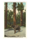 Bear, San Bernardino Mountains, California Posters