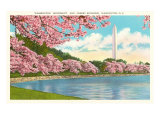 Washington Monument, Cherry Blossoms, Washington D.C. Posters