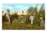 Sugar Cane Harvest, Cuba Print