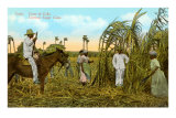 Sugar Cane Harvest, Cuba Posters