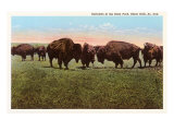 Buffalo, Black Hills, South Dakota Poster