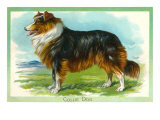 Collie Dog Print