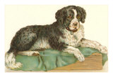 American Water Spaniel Posters