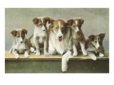 Family of Collies Poster