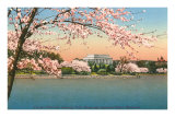 Cherry Blossoms, Lincoln Memorial, Washington D.C. Posters