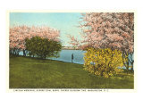Cherry Blossoms, Tidal Basin, Washington D.C. Poster