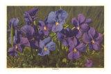 Violets, Poster