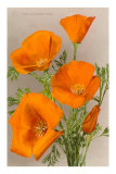 California Poppy Prints