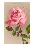 Pink Maman Cochet Rose Poster