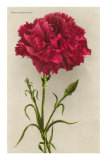 Red Carnation Prints