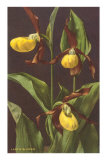 Lady's Slipper Orchid Photo