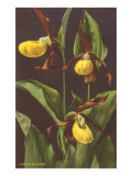 Lady's Slipper Orchid Posters