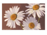 White Marguerite Daisies Posters