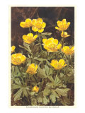 Ranunculus, Mountain Buttercup Posters