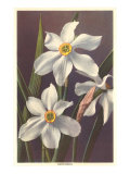 Narcissus Posters