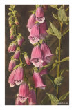 Foxglove, Digitalis Prints