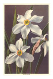 Narcissus Photo